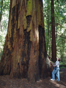 California coastal redwood